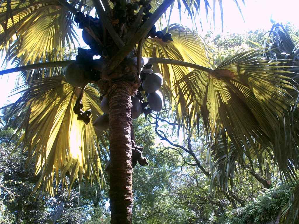 Die Nuss der Seychellen